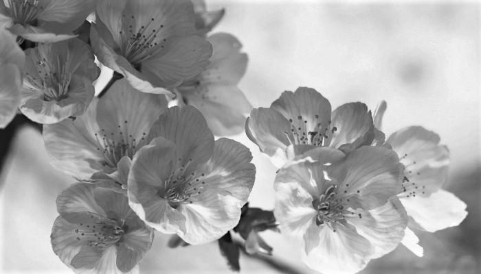 Свободная вишневая ветвь